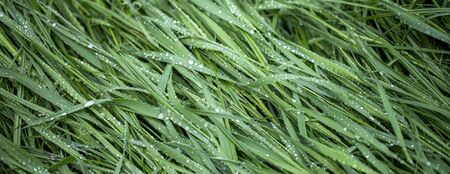 Dew drops on fresh green grass, close-up. Stockfoto
