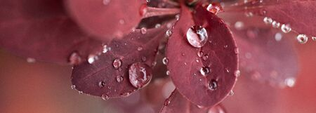 Macro photo. Dewdrops on red leaves of barberry. Abstract natural background.