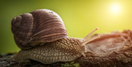 A large garden snail with a brown shell sits on a tree. It is heated in the sun. Peace and rest.