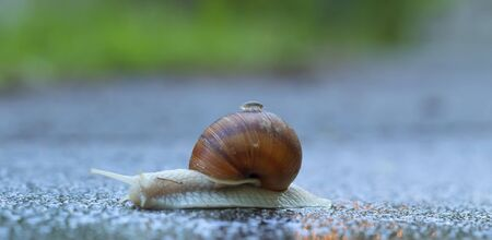 Snail on the asphalt in the morning steam. The woodlice travels on a snail. Banque d'images