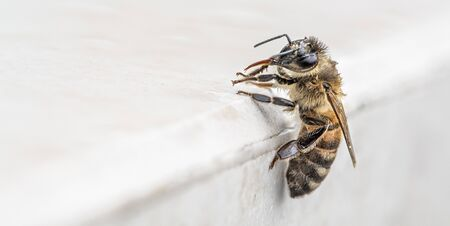 Close-up, wet bee on a marble surface after rain. With space for text. Banque d'images