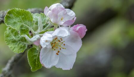 Spring background. White fruit tree flowers beauty and freshness, cherry blossoms, pears or apples. The concept of youth, spring, beauty and strength.