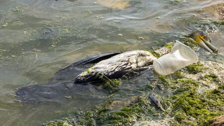 Plastic littering of the ocean leads to the death of animals, including platypus. Dead seagull in dirty water.