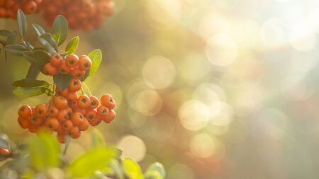 Branch with fresh ripe yellow rowan berries on a branch. Sorbus is a medicinal plant used in folk medicine. Stockfoto