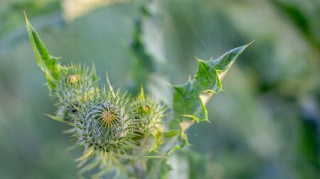Arctium lappa flower. Weed plant, which is used in medicine, and cosmetics Stockfoto