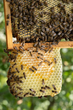 Bees work on honeycombs, in the apiary.