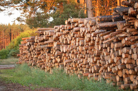 Freshly cut tree trunks lie in a stack on the edge of a pine forest. Foto de archivo