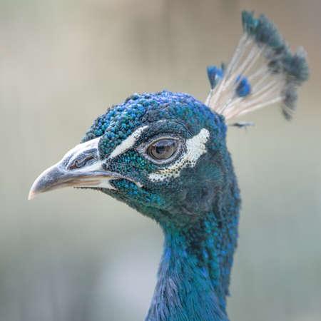 Blue peacock bird head closeup portrait, selective focus. Stok Fotoğraf