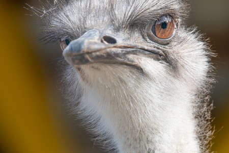 Ostrich head, portrait, selective focus, yellow eyes. On a yellow background.