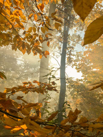 Morning freshness in a beautiful autumn face, a ray of sunshine passes through the branches of redays at dawn.