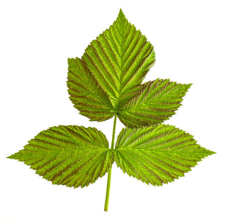 Triple green raspberry leaf isolated on a white background close up