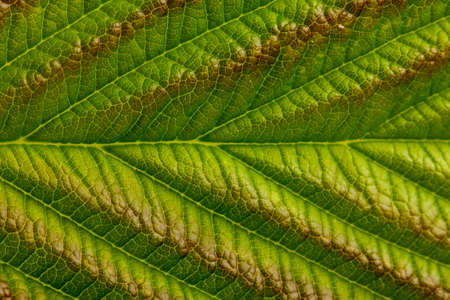 Natural background or texture, green raspberry leaf, close-up. Stok Fotoğraf