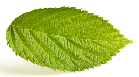 Green raspberry leaf isolated on a white background