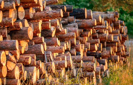 Wood logs extracted from the pine forest lie on a pile 免版税图像