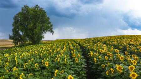Stormy sky over a blossoming sunflower field.