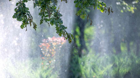Oak branches with green leaves during summer rain. 免版税图像