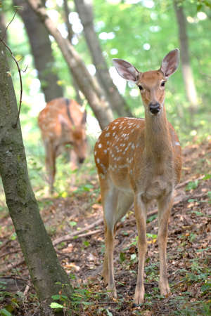 Three surprised deer, family in the woods. 免版税图像