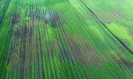 Damaged crops in the field. due to poor breed conditions, or poor soil or disease. Sick agricultural crops.