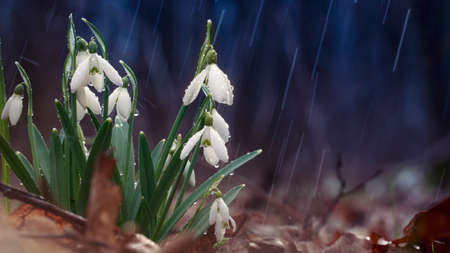 Galanthus snowdrop, the first flower that blooms in spring. A gift for Valentine's Day. 免版税图像