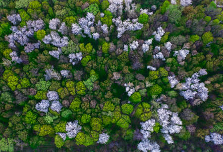 Natural dark background or pattern. Spring forest with flowering fruit trees. Top view.