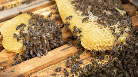 Many bees work on honeycombs, in the apiary, close-up, selective focus.