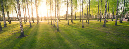 Spring green birch forest, panorama. Natural background.