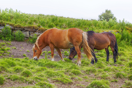 Horses Stand on a Green grass field on a summer foggy day. Norway. Reklamní fotografie