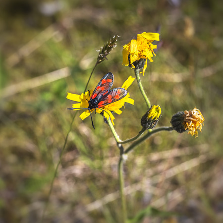 Burnet moth (Zygaena purpuralis) on yellow flower in summer. A family of Lepidoptera. About 1,000 species.