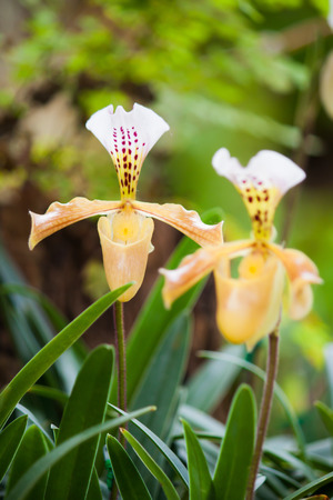 lady s: Lady s slipper orchid