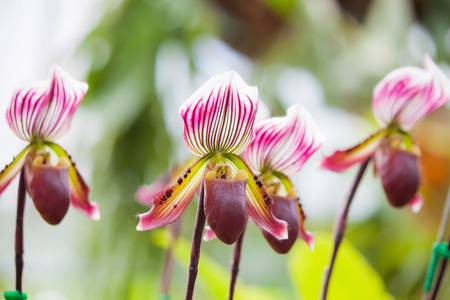 ady: Lady s slipper orchid
