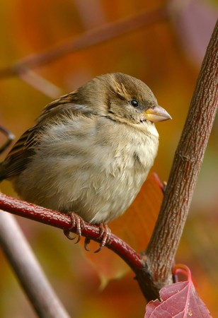 Sparrow perching on branch in the fall Stock Photo