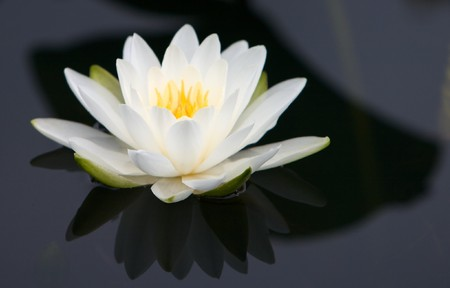Waterlily with white petals