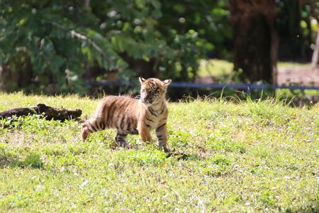 tigre cachorro: Cachorro de tigre