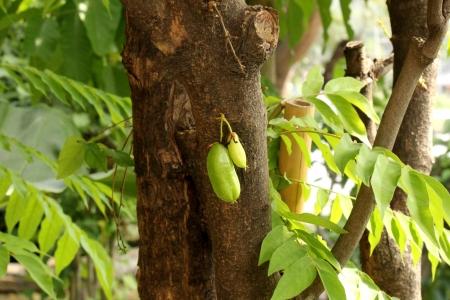 bilimbi: Bilimbi Fruit on the tree Stock Photo