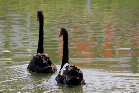 Two black swan swimming in the elated. photo
