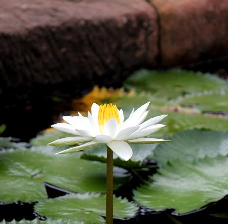 lilia: Hermosa flor de loto en el estanque