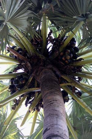 tunable: Borassus flabellifer, known by several common names, including Asian Palmyra palm, Toddy palm, Sugar palm, or Cambodian palm, tropical tree Stock Photo