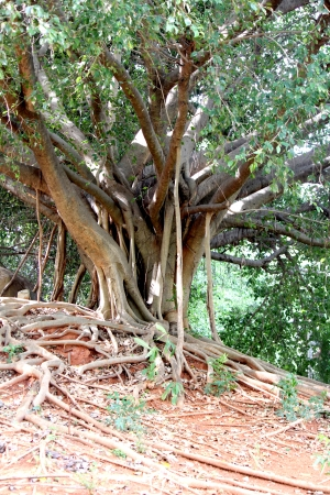 banyan tree: Large banyan tree in the park alone. Stock Photo