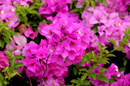 semitrailer: Bougainvillea It is a perennial shrub type semi-trailer. Sizes range from small shrubs to large shrub Stock Photo