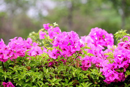 bougainvilleas: Bougainvillea It is a perennial shrub type semi-trailer. Sizes range from small shrubs to large shrub Stock Photo