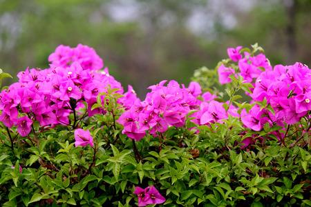 Bougainvillea It is a perennial shrub type semi-trailer. Sizes range from small shrubs to large shrub photo