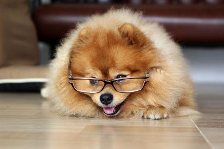 Pomeranian dog wearing Glasses of older people photo