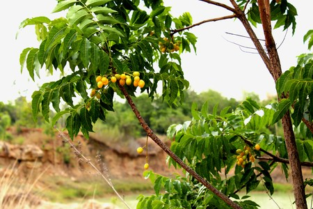 peppertree: Neem, Neem Tree, Nim, Margosa, Quinine, Holy tree, Indian Margosa Tree, Pride of china, Siamese Neem Tree, seed extract, Brazilian. Pepper-tree is substance Azadirachtin active insect pests