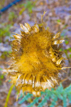 thistle in all its splendor together irrigation rubber in the garden of the mountain