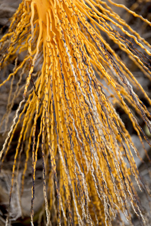Branch of Mediterranean palm tree which has been extracted its fruits and is naked with all its orange color.