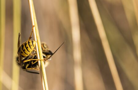 Deadly fight between insects in the open field A wasp attacks a bee that was collecting pollen and kills it