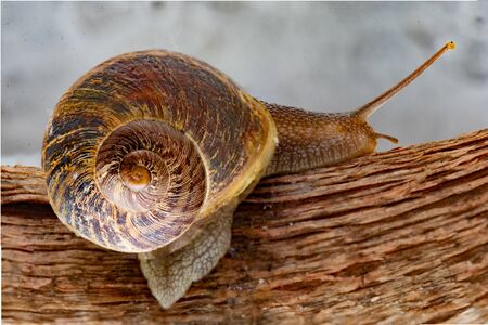 Land snail moving after a recent rain down an urban terrace in search of a neighboring garden in which to settle Banco de Imagens