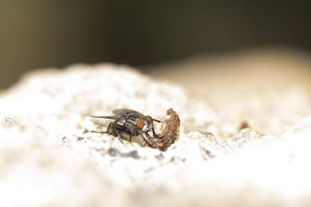 Common fly  in search of food at dawn around the anthill Stock Photo