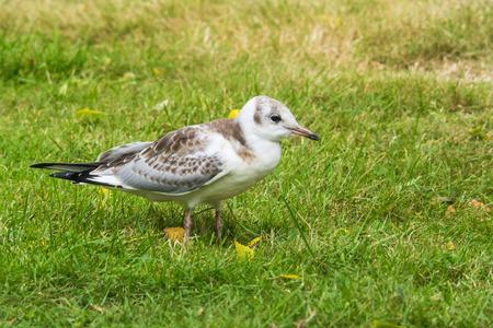 ridibundus: closeup of a young black-headed gull, Larus ridibundus