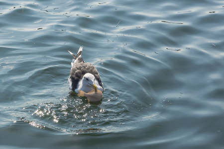 plaice: closeup of a gull with a plaice in its beak